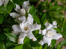 Gardenia Fool Proof